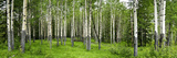 Aspen Trees in a Forest, Banff, Banff National Park, Alberta, Canada Papier Photo