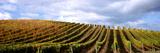 Vineyard  Napa Valley  California  USA