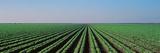 Lettuce Field San Joaquin Valley Fresno Ca USA