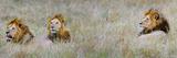 Male Lions (Panthera Leo) in a Forest  Masai Mara  Kenya
