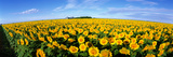 Field of Sunflowers Kansas USA