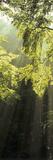 Sunbeams Shining Through Trees in a Forest  Swabian Alb  Baden-Wurttemberg  Germany