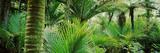 Nikau Palm Trees in a Forest  Kohaihai River  Oparara Basin Arches  Karamea  South Island