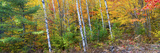 Trees in Autumn  Hiawatha National Forest  Alger County  Upper Peninsula  Michigan  USA