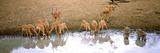 Herd of Impalas and Two Warthogs at a Waterhole  Mkuze Game Reserve  Kwazulu-Natal  South Africa