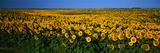 Field of Sunflowers Nd USA
