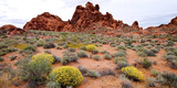 Brittlebush and Sandstone Formations in a Desert  Valley of Fire State Park  Nevada  USA