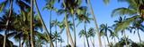 Low Angle View of Palm Trees  Oahu  Hawaii  USA