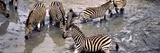 Burchell's Zebras (Equus Quagga) Drinking Water from a Waterhole  Mkuze Game Reserve