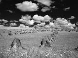 1950s Farm Scene with Stacks of Harvested Wheat Sky with Puffy Clouds
