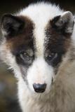 Close-Up of Sled Dog