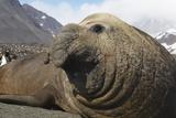 Elephant Seal on South Georgia Island