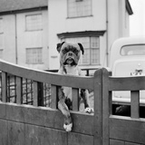 A Boxer Dog Looking over the Garden Gate of a House  Aspenden  Hertfordshire