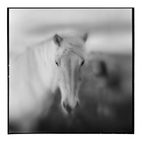 Icelandic Pony  Iceland