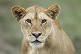 Portrait of Lioness
