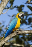 Green Macaw  Costa Rica