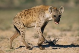 Hyena Walking in Morning Sun