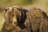 Ice-Covered Brown Bear  Katmai National Park  Alaska