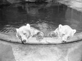Polar Bears in Zoo Pool