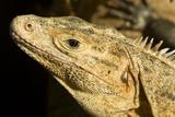 Black Iguana  Costa Rica