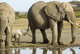 Elephant Calf and Herd