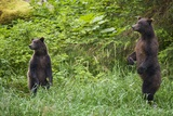 Brown Bears Standing on Baranof Island