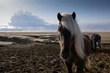 Icelandic Horses Near Ash Plume from Eyjafjallajokull Eruption