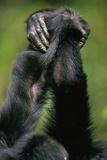 Close-Up of Chimpanzees Holding Hands Papier Photo