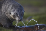 Antarctic Fur Seal Drinking from Leaking Water Pipe