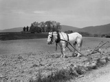 1930s White Horse in Field Harnessed to Hand Plow