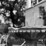 Two House Sparrows Sitting on the Edge of a Small Weathered Bird Bath