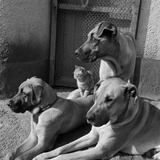 A Close Up of Three Great Dane Dogs and a Cat  Who Is Sitting on One of their Backs