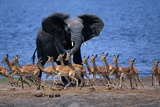 Impalas Running from African Elephant
