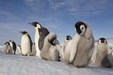 Emperor Penguins in Antarctica Papier Photo