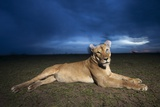 Lioness at Dusk