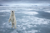 Polar Bear  Svalbard  Norway
