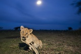 Lion Cub at Night