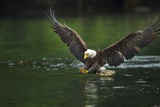 Bald Eagle  British Columbia  Canada