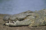 Close-Up of Nile Crocodile