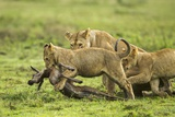 Lions and Wildebeest Kill