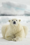Polar Bear, Svalbard, Norway Papier Photo