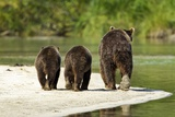 Brown Bear and Cubs  Katmai National Park  Alaska