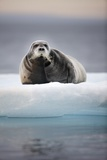 Bearded Seal  on Iceberg  Svalbard  Norway
