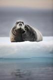 Bearded Seal, on Iceberg, Svalbard, Norway Papier Photo