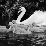 A Swan and Young Cygnets on the Water at Kew Gardens