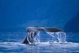 Humpback Whale  Alaska