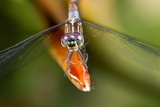 Dragonfly  Osa Peninsula  Costa Rica