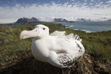Wandering Albatross in Nest