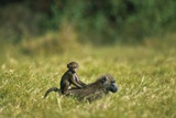 Chacma Baboons in Grass