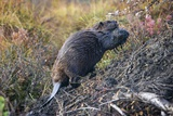 Beaver in Denali National Park